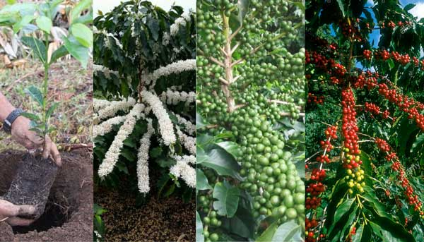 How Long Does It Take For A Coffee Plant To Mature