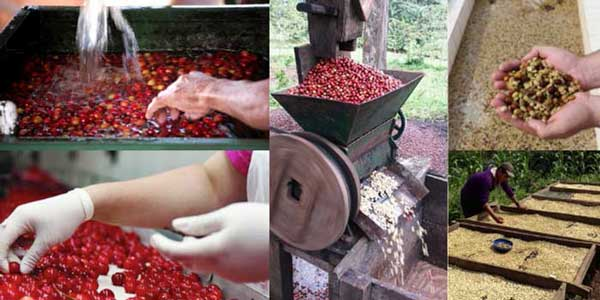 Coffee Beans Wet Processing